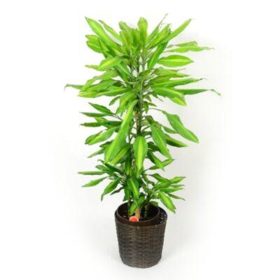 foliageplant-011