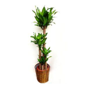 観葉植物_幸福の木