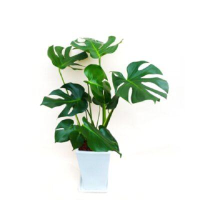 foliageplant-005