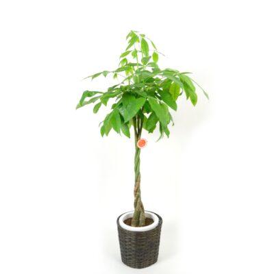 foliageplant-008