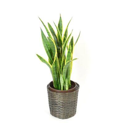 foliageplant-010