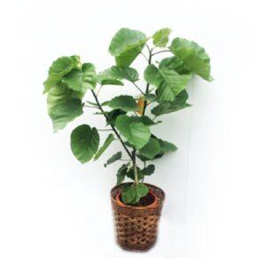 観葉植物_ウンベラータ